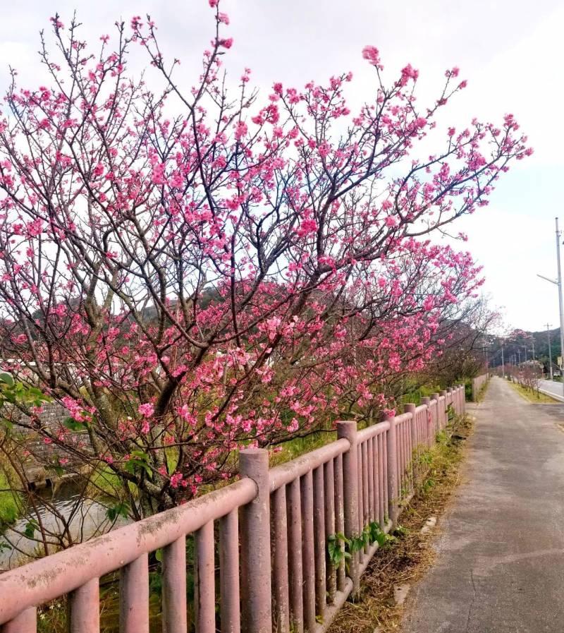 桜♪ さくら♪ サクラ♪